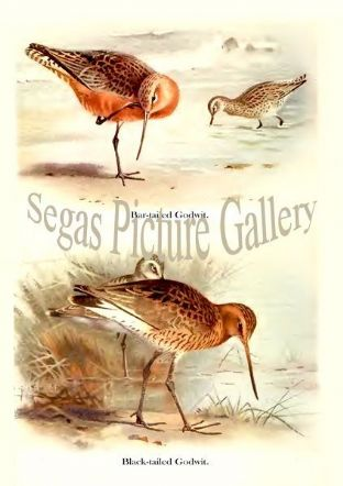 Bar-tailed Godwit & Black-tailed Godwit